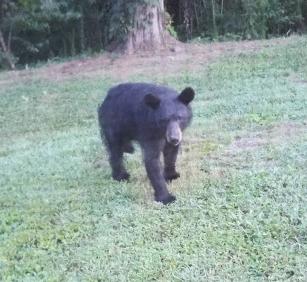 mama bear coming toward house