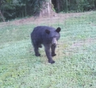 mama bear coming toward house